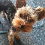 Se robaron a mi perro en sector San Sebastián en #temuco.Yorkie Toy color negro con café, con cola. Favor RT ⚠️ https://t.co/S0AHdVvGEX