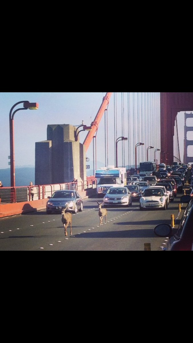 #TBT  A couple of deer had enough of city life, and decided to use the @GGBridge to head into #Marin. https://t.co/5Je1z9H2vG