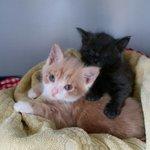 2 jonge kittens Gevonden aan de Schutterkade #Zwolle https://t.co/DxoI0X4DN2