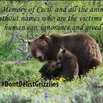.@FLOTUS Honor #CecilTheLion. Take a stand against #TrophyHunting Yellowstone grizzly bears. #DontDelistGrizzlies https://t.co/JcfgLyiuEL