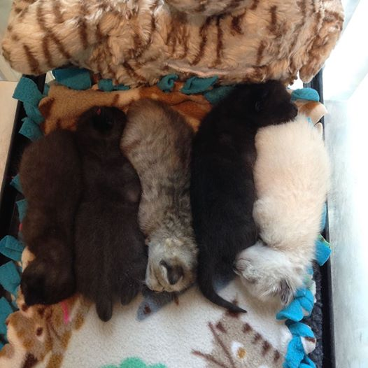 5 little gems are safe at the #KittenRescueNursery- Topaz,Jet,Opal, Onyx,Pearl #BeAMamaCat https://t.co/em4CROSlMo https://t.co/q7DHiRQJuJ