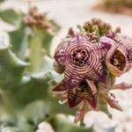 La chumberilla (Caramulla europaea-Asclepiadaceae): Una joya de nuestra #flora ibérica #FeliFinde #BienvenidoJulio https://t.co/8zIRpfloZl