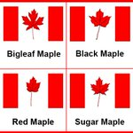 Did you know that the sugar maple was the inspiration for the flag?https://t.co/IFCwhLTLPj #CanadaDay https://t.co/Y1vB0Q5hxk
