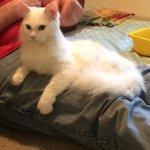 ADOPT A CAT: Freddie, 2yr old, white longhaired female cat. Details https://t.co/ZpgWQ7iFA9 #glasgow #AdoptDontShop https://t.co/zv05gyru4j