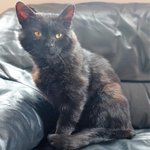 ADOPT A CAT: Jet, 3 y/o, black, outdoor, male cat. https://t.co/dRrjqyzZ1g #catsprotection #glasgow #AdoptDontShop https://t.co/boIfcgufhf
