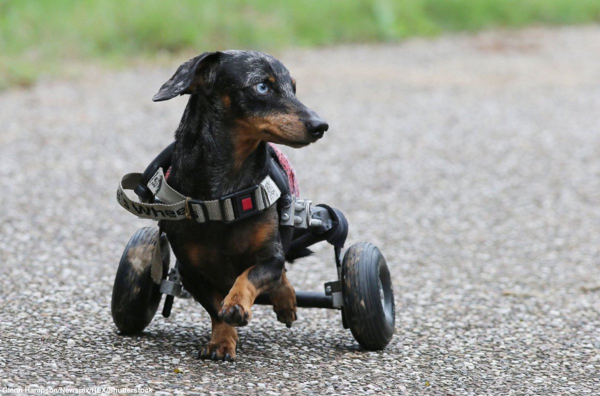 animals overcome disability - with some help from humans and