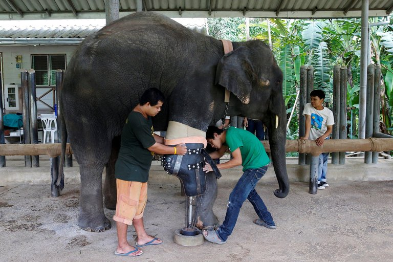 Thai elephant, injured by landmine, gets new artificial leg. https://t.co/al6dzGjozE https://t.co/6QNL67AVzw