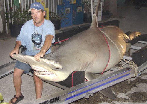 Endangered great hammerhead killed for @TheIGFA world record was pregnant w/ 55 pups. Sign~> https://t.co/YhEa4w8fhI https://t.co/0g7xQGuYSK