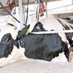 Cows that sleep on mattresses now undergoing C-section births