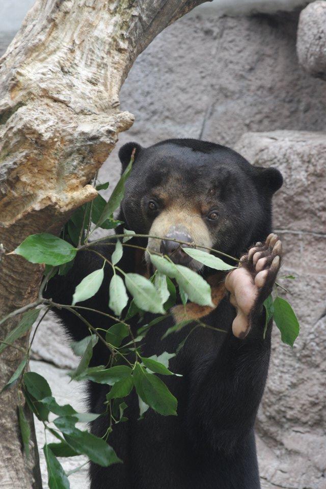どうも #マレーグマ #天王寺動物園  #アニアフォトコン https://t.co/aaatF5KroK