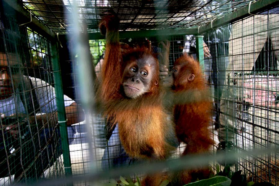 Bornean orangutan declared 'critically endangered' as forests shrink https://t.co/YTYb379SCI https://t.co/sZeSYJZ0NT
