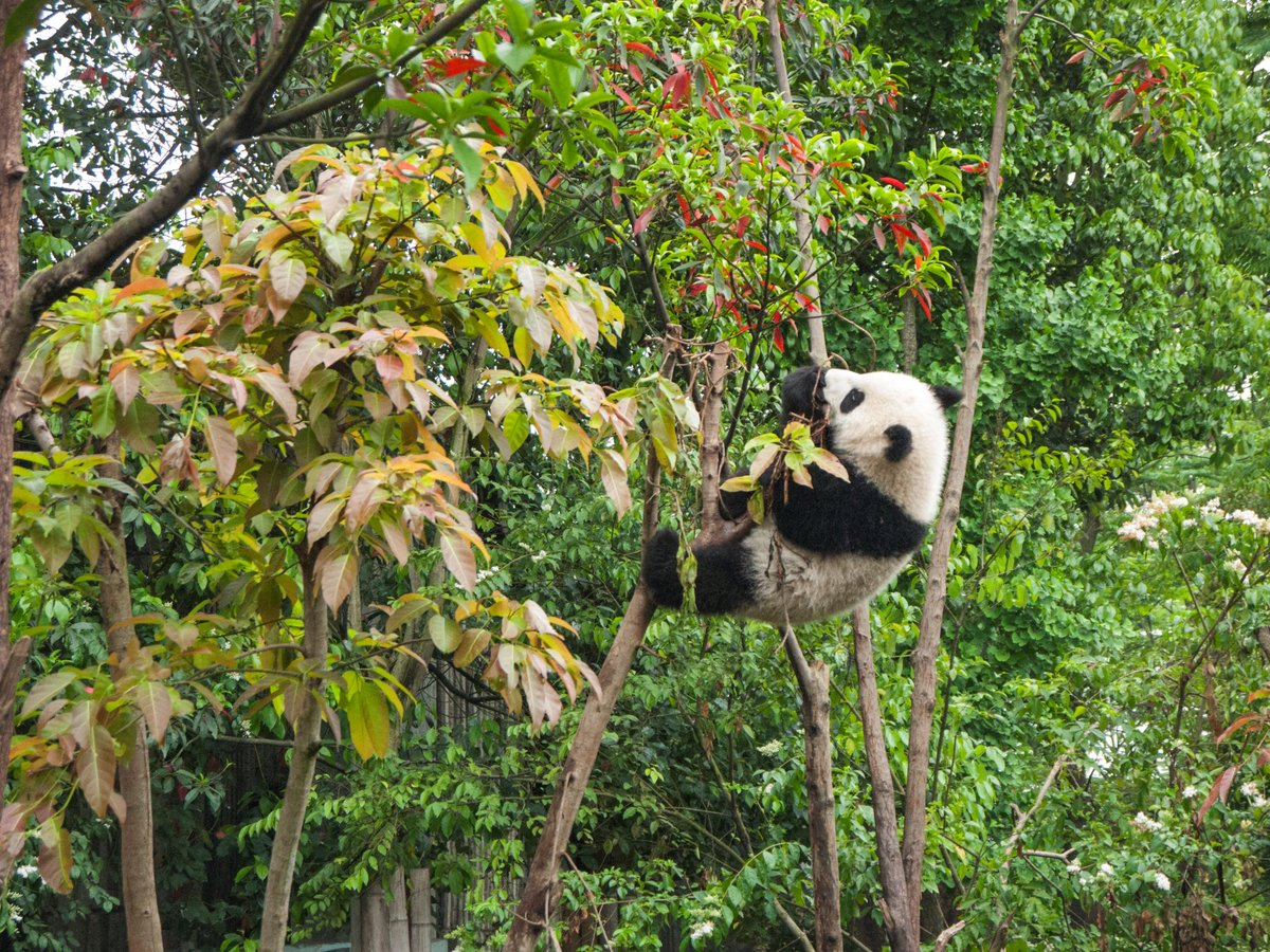#DYK A wild giant panda eats 23 to 36 pounds of bamboo each day? AD Learn more: https://t.co/RjFY2map4J #sdzoo100 https://t.co/pReLO0qObs