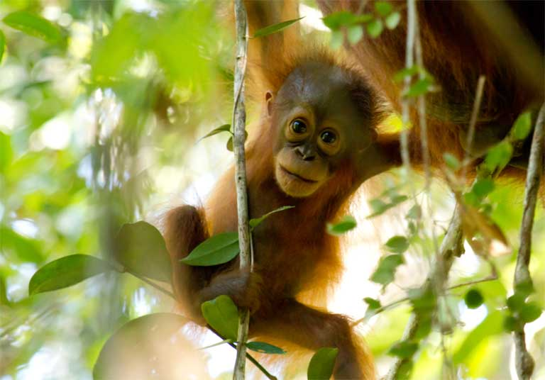 RT @Greenpeace: Borneo's orangutan population is shrinking. Can we save their ???? before it's too late? https://t.co/R8na6g8KUg https://t.co/…