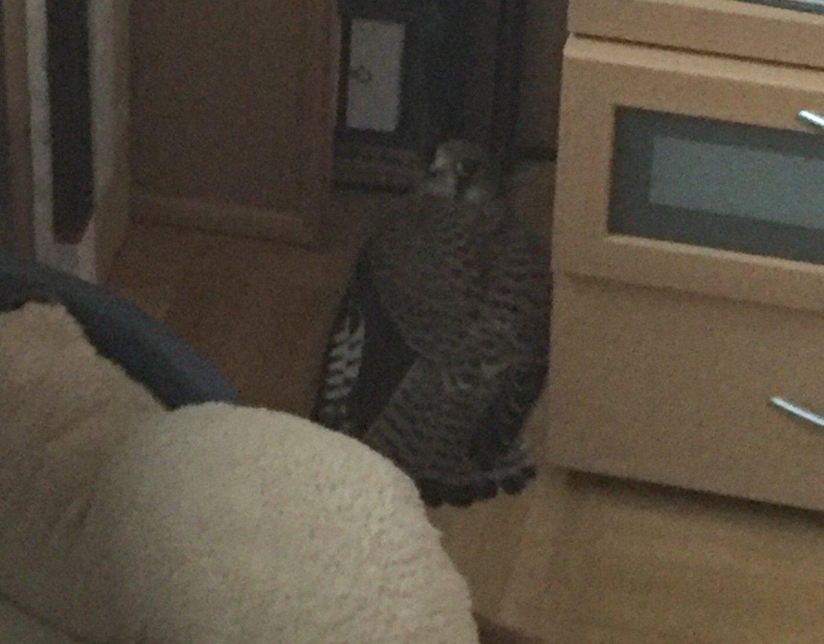 Da lüftet man mal kurz im Schlafzimmer, plötzlich sitzt ein Falke neben deinem Nachtisch. *_* https://t.co/RuViPqfeNT