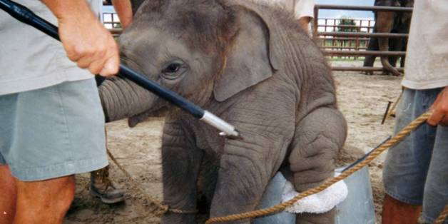 HISTORY MADE! #RhodeIsland becomes 1st state to BAN cruel bullhooks used to beat elephants. Thank you @GinaRaimondo! https://t.co/gmQCyPyBsY