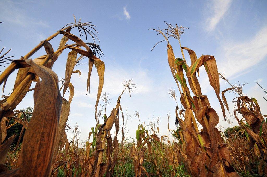 #ClimateChange will reduce maize yields unless breeding and seed systems adapt immediately. https://t.co/6eNeeZajPf https://t.co/immDU9j4oZ