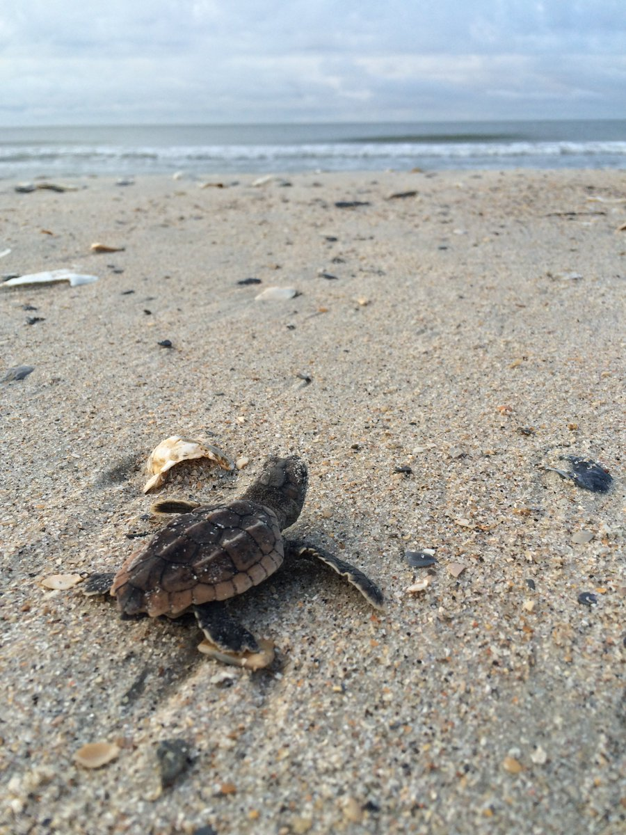 Help this little loggerhead make it to the ocean: don't feed gulls and always fill in holes you dig on the beach! https://t.co/Hj1RRnIOii