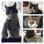 #迷い猫 #迷子猫 #拡散希望 #足立区 むぅ(キジ白、約8㌔、困り顔、人馴れはしています。) 7/9早朝に足立区江北の自宅を出て深夜に帰宅した時には居なくなってました。些細な情報でも頂きたいです。 ※やや、はちは保護できました! https://t.co/5g44HW56Ft