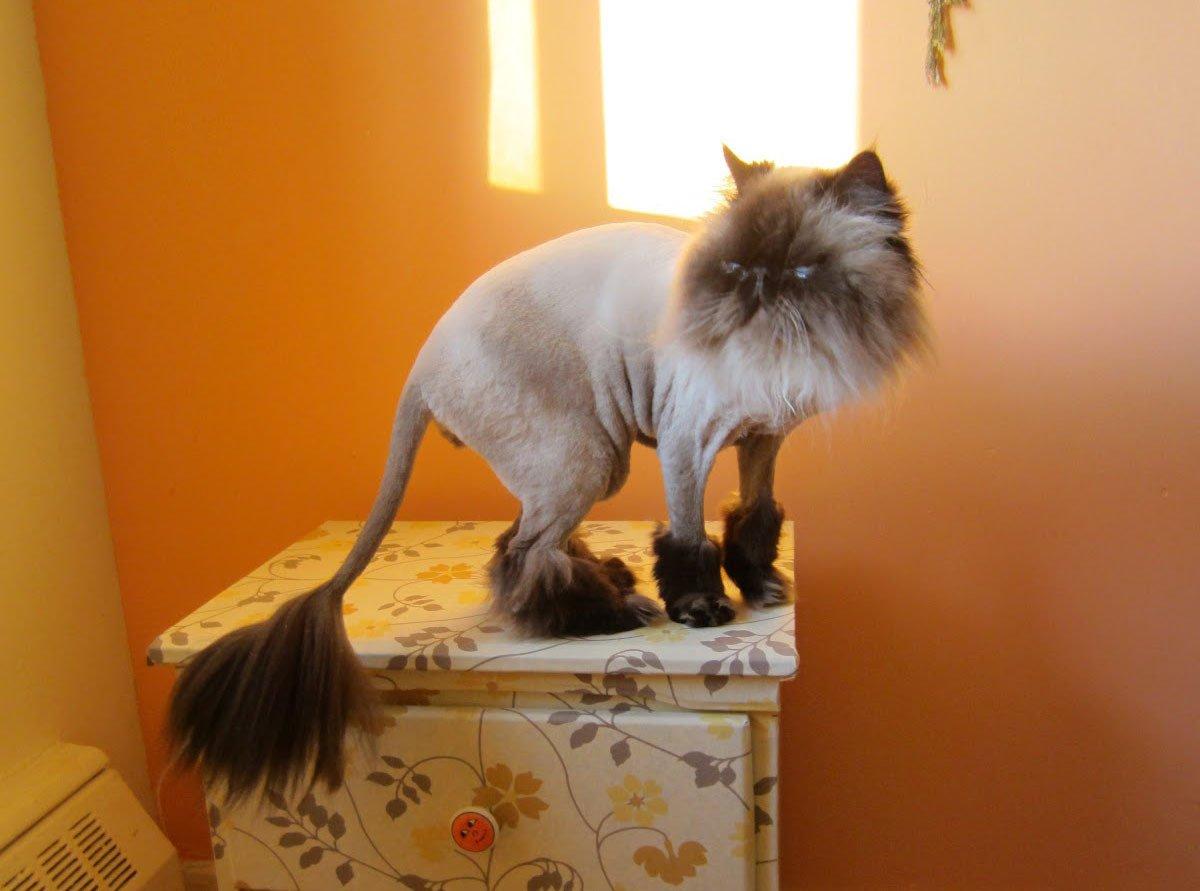 Как подстричь кота в домашних условиях : побрить самому, подстричь 26
