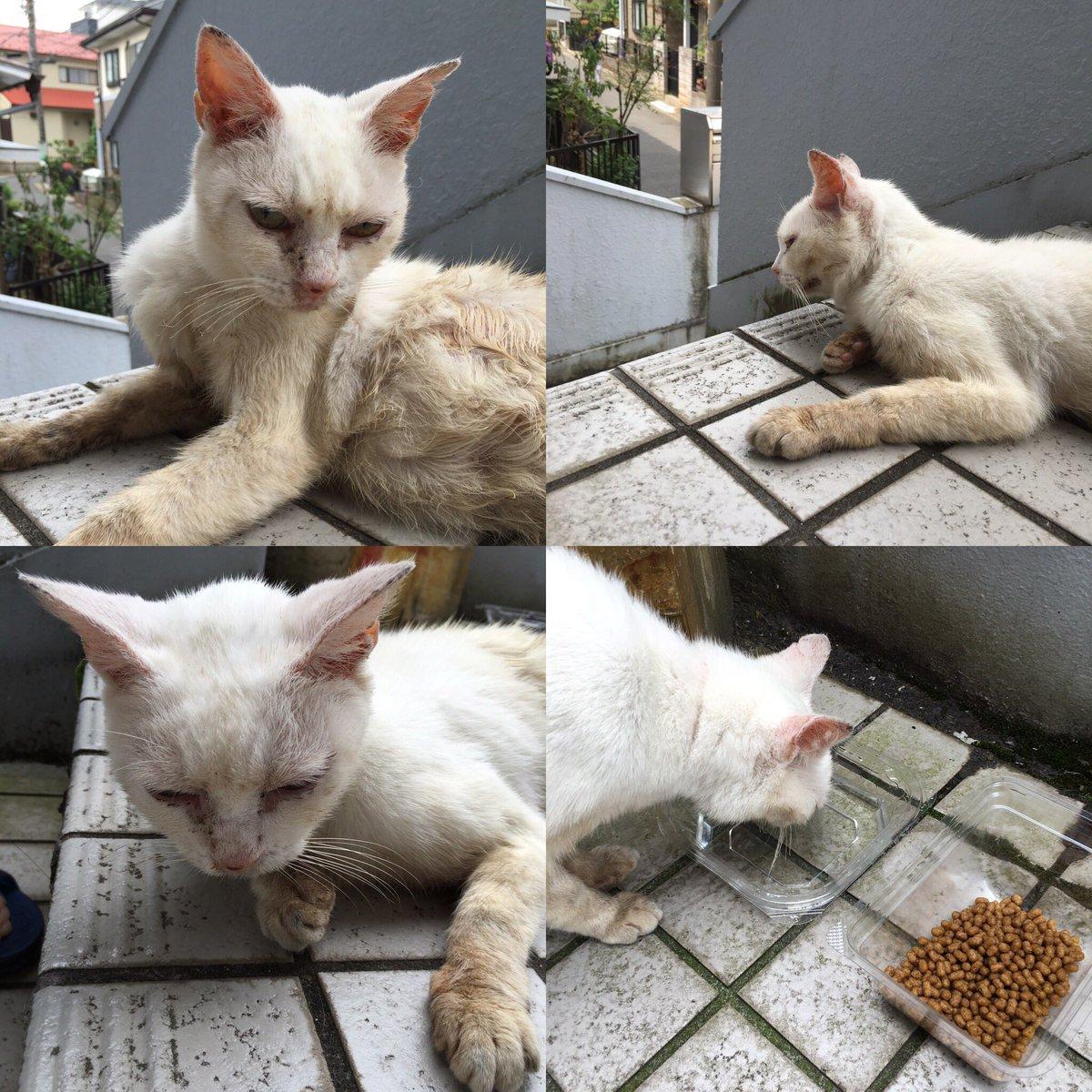 @miyachan_888 @hiromiyucoo 外猫迷い猫のシロさん、すごく人なっこいです。首輪の後もあり飼われてたと思います。 https://t.co/7CddoCZFF2