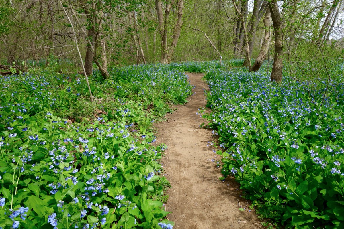RT @FunInFairfax: A9: Virginia bluebells line the trail @ Riverbend Park