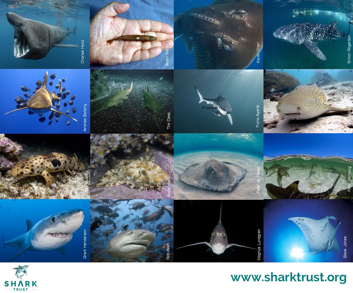 Every day is #SharkAwarenessDay! From pocket sized to the size of a bus & not forgetting #flatsharks, we ❤️ them all https://t.co/JhU9SRGwtw