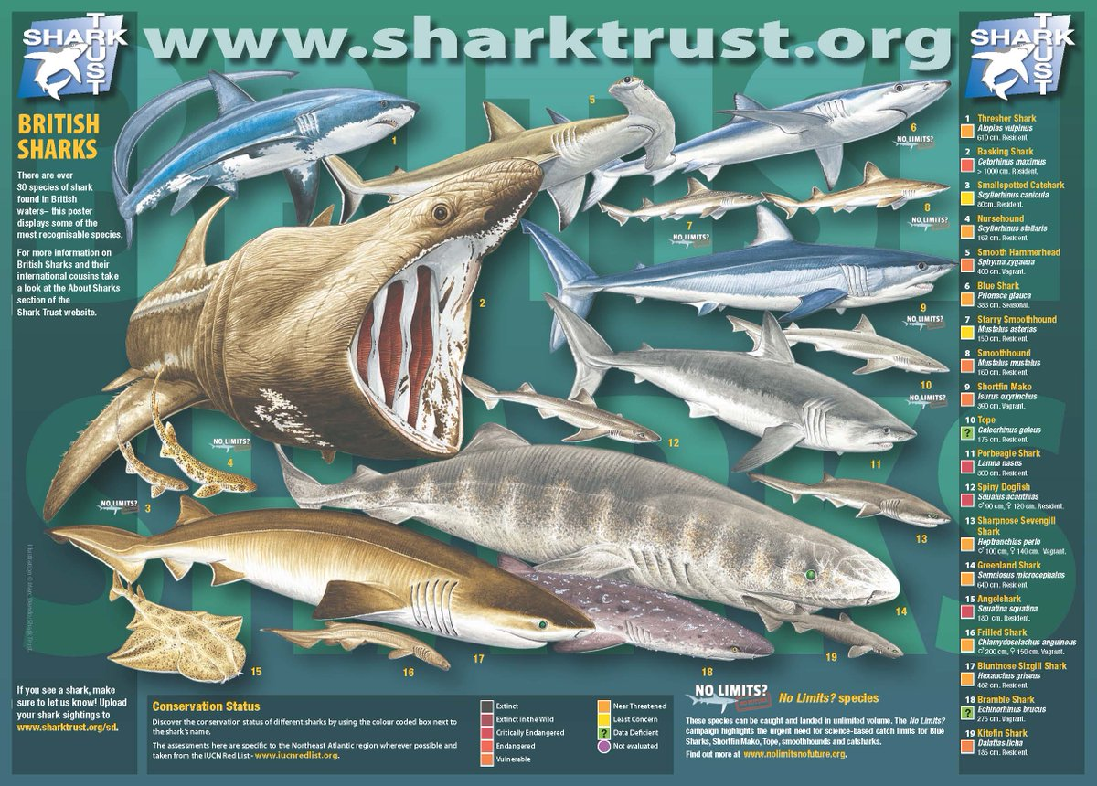 #SharkAwarenessDay - there are >30 species of shark in British waters & >20 skates & rays https://t.co/fLsBfLUHzR https://t.co/LFzeXoyJ1d