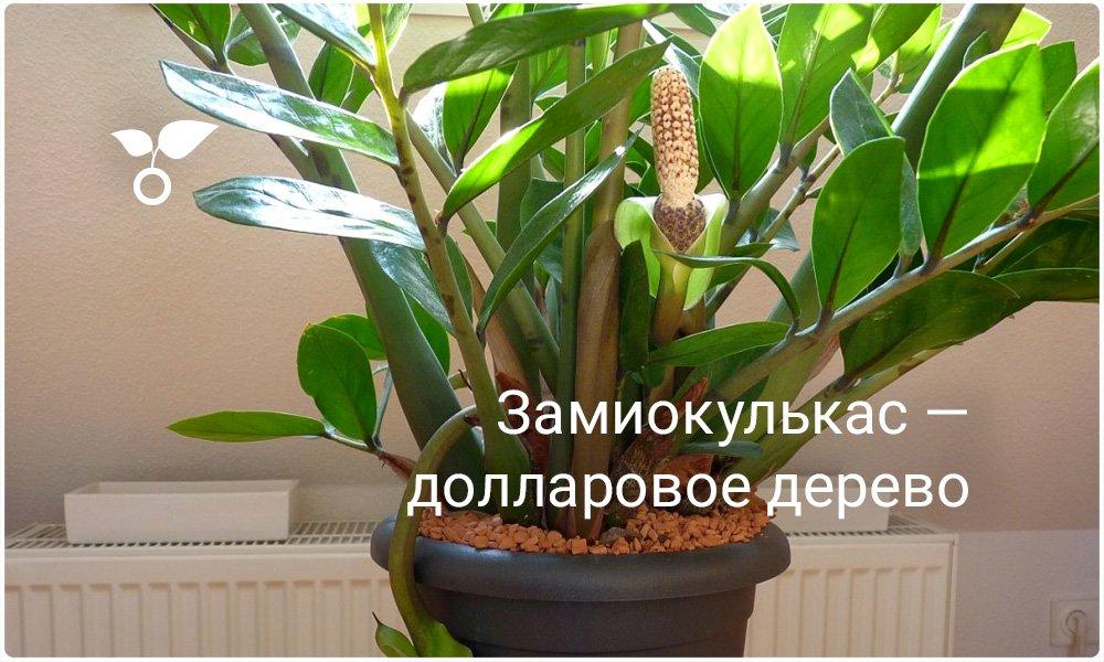 Баксовое дерево уход в домашних условиях