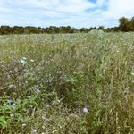 Dear #Chicago, did u know theres a sprawling tallgrass prairie (w/ #bison!) just 1 hr away? @MidewinNatTP #whoknew? https://t.co/MQuC56omsd