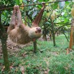 """""""Three-toed sloths burn 110 calories a day: the energy content of a baked potato."""" Awesome. https://t.co/iMhSEhasF4 https://t.co/MF7Ci9Uk8D"""