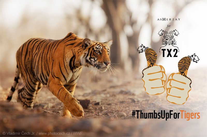 We're working to double wild tiger numbers by 2022! Join → 🐯 x🐯 #ThumbsUpForTigers