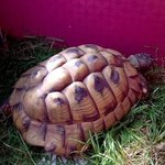 FOUND: Do you know who this tortoise belongs to? Found today (23/07) Lady Byron Lane in Knowle B93. Please RT https://t.co/xWZGLREn7q