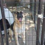 3 Yo Purebred Male German Shepherd ❯❯ https://t.co/a1OfzcAFaW ❮❮ #DogFinder #SantaBarbara #AdoptADog https://t.co/SiZWScvaQ9