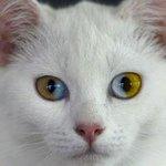 양쪽 눈이 다른 건 오드아이 라고 하지만 한 눈 안에 두 색이 들어있는건 파이아이 라고 불러!!!뺙!! https://t.co/r1eI1vwCOf