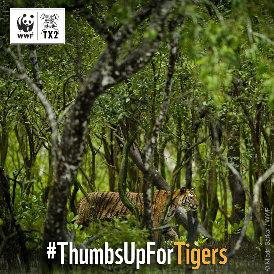 RT @WWF: Tiger conservation increases protection of forests. Give your #ThumbsUpForTigers → https://t.co/g5o5f8QCJY ???? x ???? https://t.co/frVe…