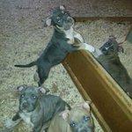 American Bully Pups ❯❯ https://t.co/R62BiP099t ❮❮ #DogFinder #SantaBarbara #AdoptADog https://t.co/vYCYBpPkTW