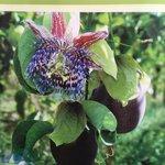 Esta es la flor de la Cholupa , una pasiflora que nos deleita con su sabor exótico. https://t.co/XyYZmdhVrW