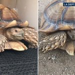 Tortoise manages to escape raging #SandFire, found by officials fleeing as fast as he could https://t.co/CoCva0wbML https://t.co/wshYuP35Zv