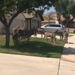 Only in Moval will you see a whole heard of donkeys https://t.co/IFvtZiA3hy