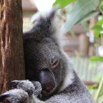 Them Monday feels.. 🐨 Mega cuteness at @rainforestation in @queensland @australia #exploreTNQ https://t.co/bW8uRoRODZ