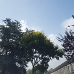 De Koelreuteria Paniculata, oftewel de gele zeepboom. Wordt momenteel volop bevlogen door #bijen #hommels #heemstede https://t.co/KK5Lxc16fP