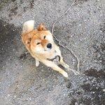 今日の深夜2時に家の前でウロウロしてた柴犬を保護しました。 人懐っこくて、黒の首輪をしています。 飼い主が見つかるまで保護するつもりです。拡散お願いします。 #迷い犬 #柴犬 #拡散希望 https://t.co/OJNHX26Ljo