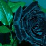Rosas negras realmente existem, mas elas crescem em apenas um lugar: Halfeti, na Turquia - https://t.co/sokialDOEn