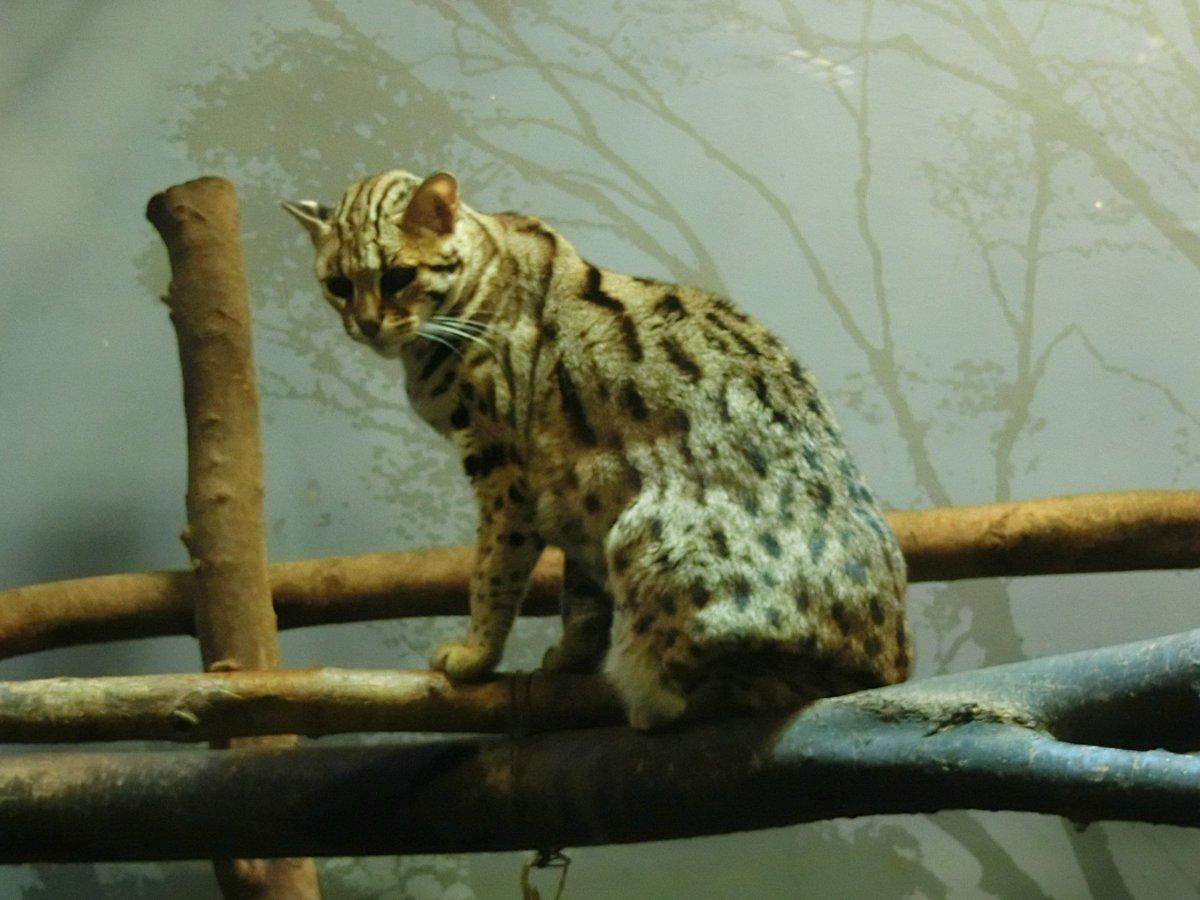 おはようございます。ベンガルヤマネコです。 開園時間は暗い夜の森。 夜行性の動物たちが活動する様子を…