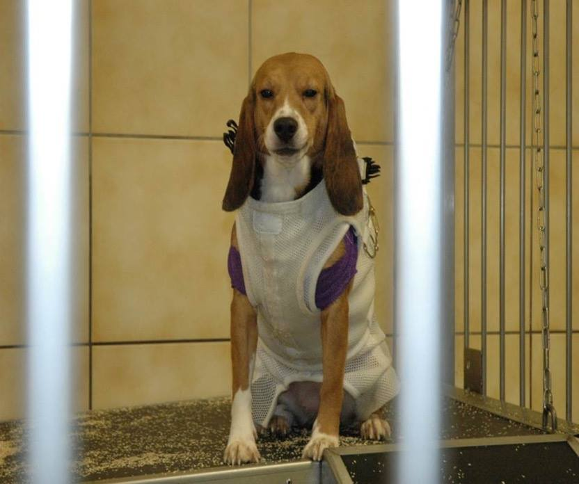 University Of Illinois euthanizes beagles if they don't cooperate while being put into: https://t.co/YMlGCCc86z https://t.co/yVq9pJbob7