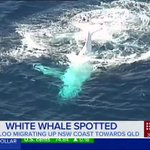 Whale, Migaloo, spotted migrating up NSW Coast towards Queensland. #9News https://t.co/nmP0bXZ6ti