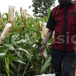 Sorghum growing improves farmers livelihood in Serere