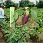 Philippines Supreme Court reverses ban on GMO talong (eggplant) field trials. https://t.co/WJD8Zi3572