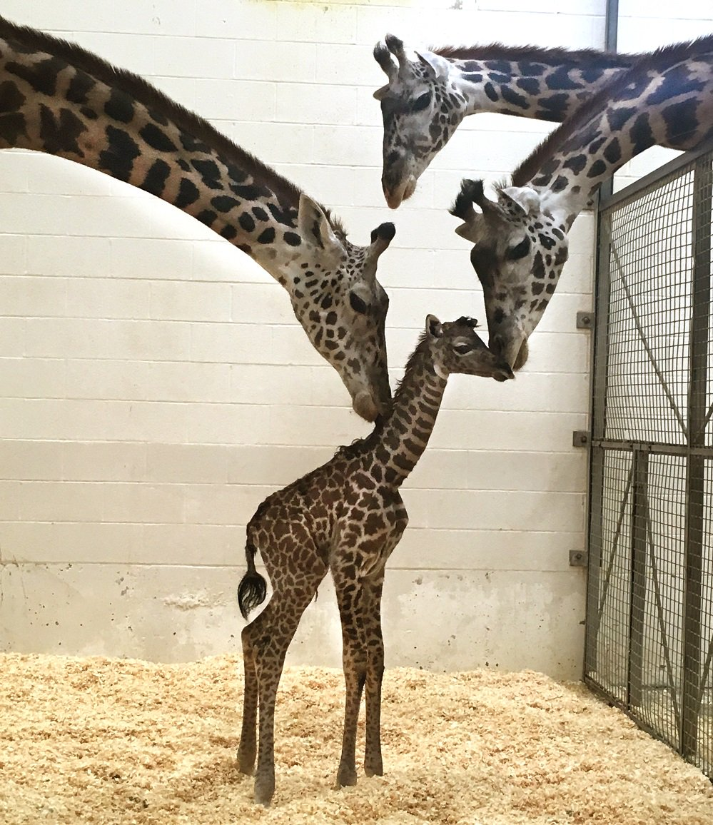 Tessa and Jambo check out the newest member of their herd. Cece's baby was born this morning at 10:27 a.m.! https://t.co/hjguIymc5V