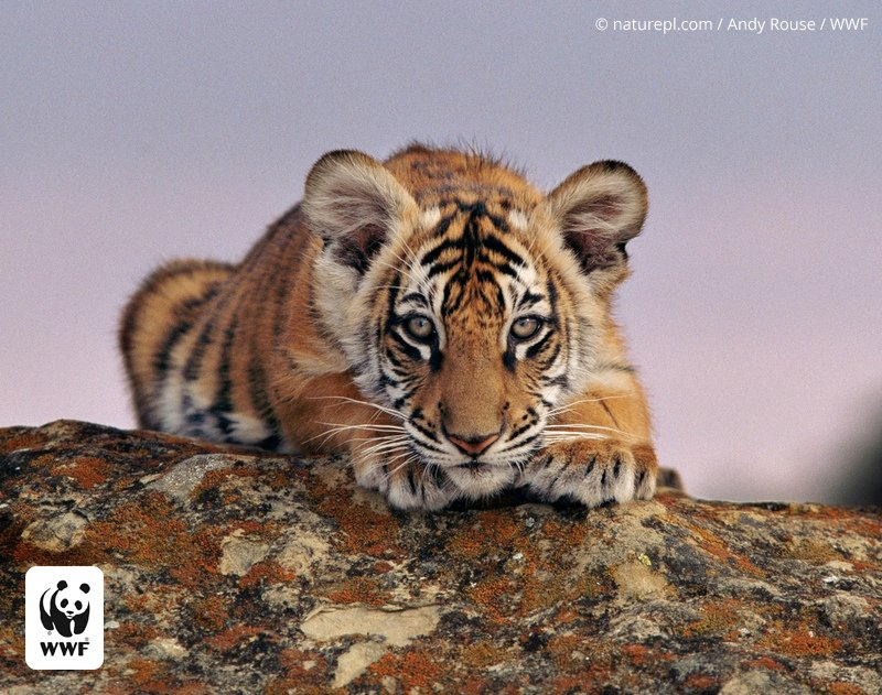 Tell the US gov to fully ban public contact with tigers: https://t.co/iuCLF1hTTo @World_Wildlife #GlobalTigerDay https://t.co/ekxZ6CZc93